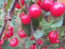 Cherry Trees Fotos de archivo libres de regalías