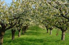 Cherry Trees Imagen de archivo
