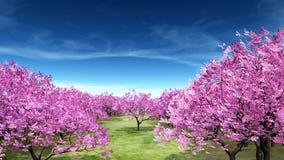 Cherry Trees Royaltyfri Fotografi