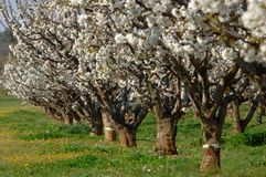 Cherry trees. Line of chery trees Stock Images
