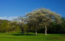 Cherry trees. Blooming on a green pastor in spring with blue sky Stock Photos