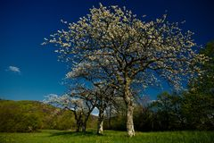 Cherry trees. Blooming on a green pastor in spring with blue sky Stock Photography