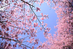 Cherry Trees Lizenzfreie Stockfotografie