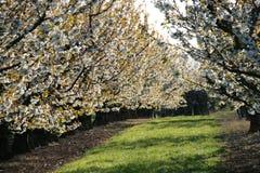Cherry Trees Arkivfoto