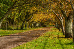 Cherry trees alley in the Fall. Autumn scene with old cherry trees alley Stock Images