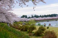 Cherry trees along Hinokinai river. Cherry trees (Sakura namiki) at riverside of Hinokinai in Kakunodate, Semboku city, Akita prefecture, Japan Stock Photo