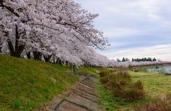 Cherry trees along Hinokinai river. Cherry trees (Sakura namiki) at riverside of Hinokinai in Kakunodate, Semboku city, Akita prefecture, Japan Royalty Free Stock Photography