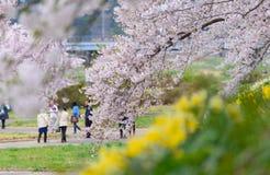 Cherry trees along Hinokinai river Royalty Free Stock Photography