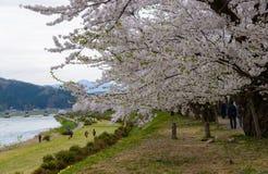 Cherry trees along Hinokinai river. Cherry trees (Sakura namiki) at riverside of Hinokinai in Kakunodate, Semboku city, Akita prefecture, Japan Stock Image