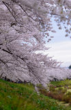 Cherry trees along Hinokinai river Royalty Free Stock Image