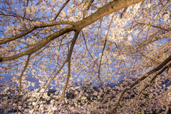 Cherry trees along Meguro River,Meguro-ku,Tokyo,Japan are light up in the evenings of spring. Royalty Free Stock Photo