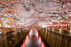 Cherry trees along Meguro River,Meguro-ku,Tokyo,Japan are light up in the evenings of spring. Meguro River is located in Meguro-ku of Tokyo,Japan. 800 cherry Stock Photography