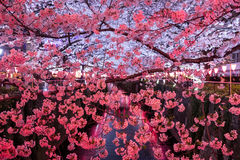 Cherry trees along Meguro River,Meguro-ku,Tokyo,Japan are light up in the evenings of spring. Meguro River is located in Meguro-ku of Tokyo,Japan. 800 cherry Royalty Free Stock Photo