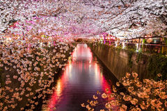 Cherry trees along Meguro River,Meguro-ku,Tokyo,Japan are light up in the evenings of spring. Stock Image