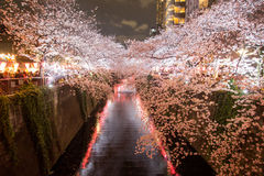 Cherry trees along Meguro River,Meguro-ku,Tokyo,Japan are light up in the evenings of spring. Royalty Free Stock Images
