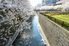 Cherry trees along Meguro River,Meguro-ku,Tokyo,Japan in spring. Meguro River is located in Meguro-ku of Tokyo,Japan. 800 cherry trees line Meguro River for 3.8 Royalty Free Stock Photo