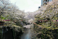Cherry trees along Meguro River,Meguro-ku,Tokyo,Japan in spring. Meguro River is located in Meguro-ku of Tokyo,Japan. 800 cherry trees line Meguro River for 3.8 Royalty Free Stock Photos