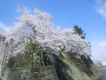 Cherry trees along the moat Stock Image