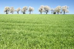 Free Cherry-trees And Fields Royalty Free Stock Photography - 23811127