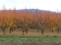 Cherry Trees in autumn colors in New Zealand Royalty Free Stock Photo