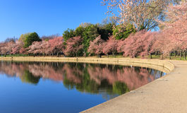 Cherry Trees Begin som blommar Washington DC Arkivfoto