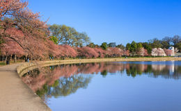 Cherry Trees Begin to Bloom Tidal Basin Washington DC Royalty Free Stock Image
