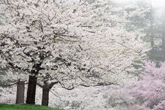 Cherry Trees in Bloom Stock Image