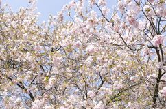 Cherry trees in bloom stock photography