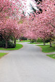 Cherry trees in bloom Stock Images