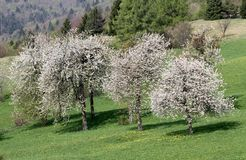 Cherry trees in bloom in Meadow green in the mountains Stock Photo
