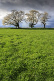 Cherry trees in bloom. During spring time Stock Images