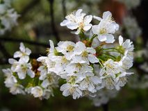 Cherry trees bloom - spring - White flowers Royalty Free Stock Images