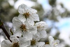 Cherry trees bloom - spring - White flowers Stock Images