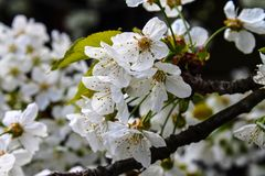 Cherry trees bloom - spring - White flowers Stock Photography