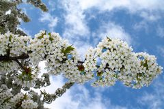 Cherry trees bloom - spring - White flowers Stock Image