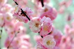 Cherry trees blooming in the park. Cherry trees blooming with pink flowers in the park in the Chinese city of Dalian royalty free stock images