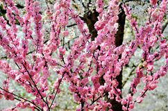 Cherry trees blooming in the park. Cherry trees blooming with pink flowers in the park in the Chinese city of Dalian royalty free stock photography
