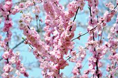 Cherry trees blooming in the park. Cherry trees blooming with pink flowers in the park in the Chinese city of Dalian royalty free stock image