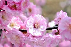 Cherry trees blooming in the park. Cherry trees blooming with pink flowers in the park in the Chinese city of Dalian stock photos