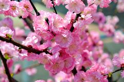 Cherry trees blooming in the park. Cherry trees blooming with pink flowers in the park in the Chinese city of Dalian stock images