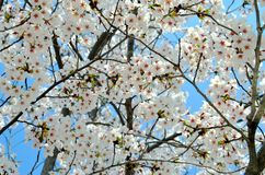 Cherry trees blooming in the park. Cherry trees blooming with white flowers in the Chinese city of Dalian stock photo