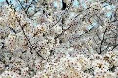 Cherry trees blooming in the park. Cherry trees blooming with white flowers in the park in the Chinese city of Dalian royalty free stock images
