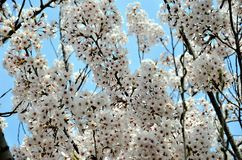 Cherry trees blooming in the park. Cherry trees blooming with white flowers in the park in the Chinese city of Dalian royalty free stock photography