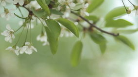 Cherry trees blooming in spring. Nature awakening. Fruit garden in blossom. Small green leaves and white flowers on tree stock footage