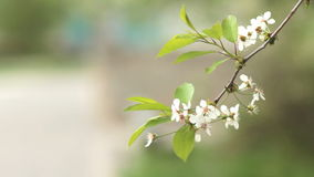 Cherry trees blooming in spring. Nature awakening. Fruit garden in blossom. Small green leaves and white flowers on tree. Branches slowly moving from wind stock footage