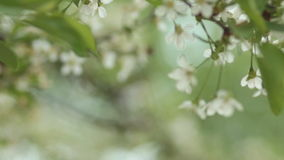 Cherry trees blooming in spring. Nature awakening. Fruit garden in blossom. Small green leaves and white flowers on tree. Changing focus stock video footage