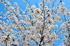 Cherry trees blooming in the park. Cherry trees blooming with white flowers in the park in the Chinese city of Dalian stock images