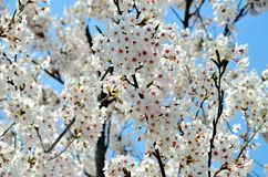 Cherry trees blooming in the park. Cherry trees blooming with white flowers in the park in the Chinese city of Dalian stock photos