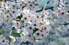 Cherry trees blooming in the park. royalty free stock photography