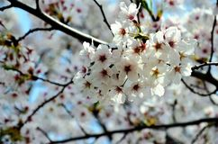 Cherry trees blooming in the park. Cherry trees blooming with white flowers in the park in the Chinese city of Dalian royalty free stock photos